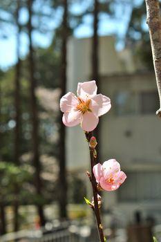 アーモンドの開花-A2.jpg