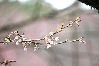 エドヒガンの開花-1.jpg