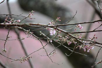 エドヒガンの開花-2 .jpg