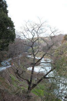 エドヒガン_2012-0401c.jpg