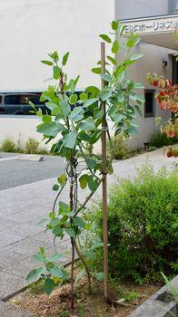 カラシダネの木.jpg
