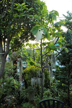 ハンカチの木の白い花-a_2014-0508_IMG_9416.jpg
