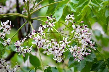樗(おうち)の花が満開!a_2014-0602.jpg